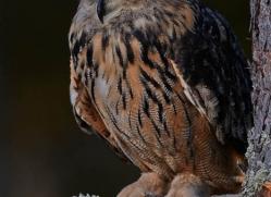 european-eagle-owl-775-scotland-copyright-photographers-on-safari-com