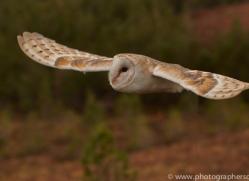 Barn Owl 2014-31copyright-photographers-on-safari-com