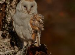 Barn Owl 2014-34copyright-photographers-on-safari-com
