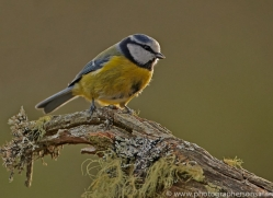 Blue Tit 2014-1copyright-photographers-on-safari-com