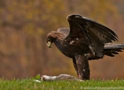 Golden Eagle 2014-1copyright-photographers-on-safari-com