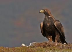 Golden Eagle 2014-7copyright-photographers-on-safari-com