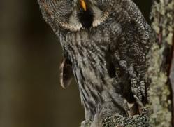 Great Grey Owl 2014-11copyright-photographers-on-safari-com