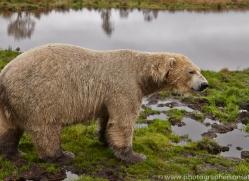 Polar Bear 2014-1copyright-photographers-on-safari-com