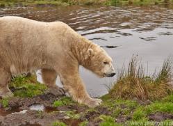 Polar Bear 2014-2copyright-photographers-on-safari-com