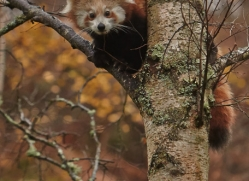 Red Panda 2014-5copyright-photographers-on-safari-com