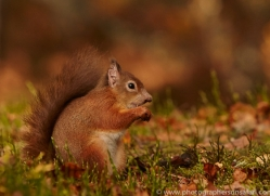 Red Squirrel 2014-2copyright-photographers-on-safari-com