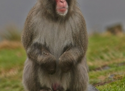Snow Monkey 2014-1copyright-photographers-on-safari-com