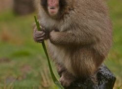 Snow Monkey 2014-2copyright-photographers-on-safari-com