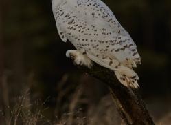 Snowy Owl 2014-11copyright-photographers-on-safari-com