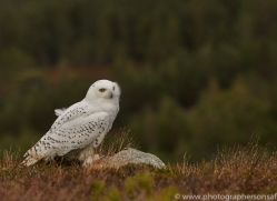 Snowy Owl 2014-12copyright-photographers-on-safari-com
