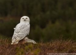 Snowy Owl 2014-13copyright-photographers-on-safari-com