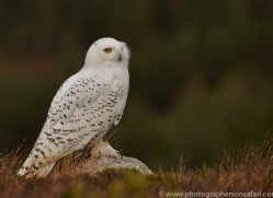 Snowy Owl 2014-14copyright-photographers-on-safari-com