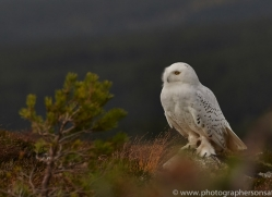 Snowy Owl 2014-15copyright-photographers-on-safari-com