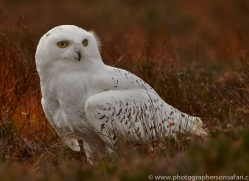 Snowy Owl 2014-16copyright-photographers-on-safari-com