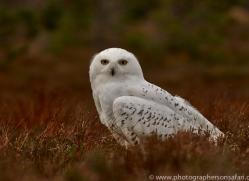 Snowy Owl 2014-17copyright-photographers-on-safari-com