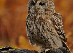 Tawny Owl 2014-12copyright-photographers-on-safari-com