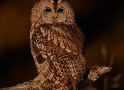 Tawny Owl 2014-13copyright-photographers-on-safari-com