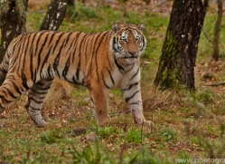 Tiger 2014-51copyright-photographers-on-safari-com