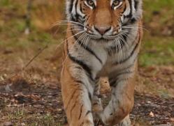 Tiger 2014-53copyright-photographers-on-safari-com