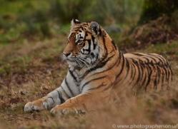 Tiger 2014-54copyright-photographers-on-safari-com