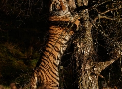 amur-tiger-779-scotland-copyright-photographers-on-safari-com