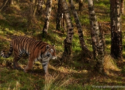 amur-tiger-780-scotland-copyright-photographers-on-safari-com