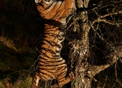 amur-tiger-782-scotland-copyright-photographers-on-safari-com