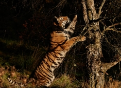 amur-tiger-784-scotland-copyright-photographers-on-safari-com