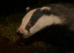 badger-730-scotland-copyright-photographers-on-safari-com