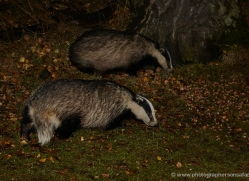 badger-735-scotland-copyright-photographers-on-safari-com