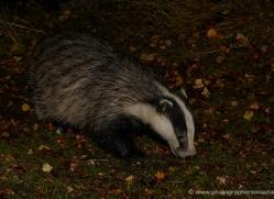 badger-738-scotland-copyright-photographers-on-safari-com