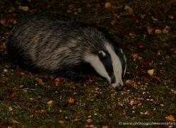 badger-739-scotland-copyright-photographers-on-safari-com