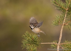 crested-tit-698-scotland-copyright-photographers-on-safari-com
