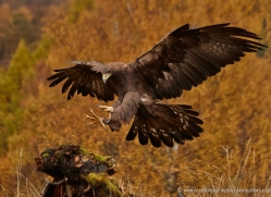 golden-eagle-849-scotland-copyright-photographers-on-safari-com