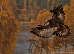 golden-eagle-850-scotland-copyright-photographers-on-safari-com
