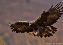 golden-eagle-851-scotland-copyright-photographers-on-safari-com