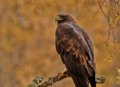 golden-eagle-853-scotland-copyright-photographers-on-safari-com