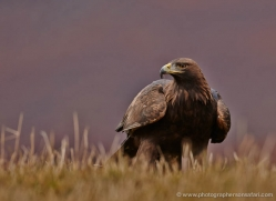 golden-eagle-855-scotland-copyright-photographers-on-safari-com