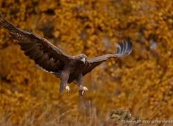 golden-eagle-857-scotland-copyright-photographers-on-safari-com