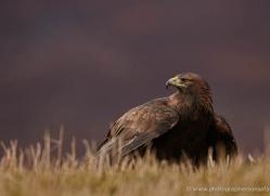 golden-eagle-860-scotland-copyright-photographers-on-safari-com