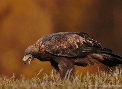 golden-eagle-862-scotland-copyright-photographers-on-safari-com