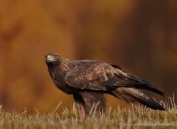 golden-eagle-863-scotland-copyright-photographers-on-safari-com
