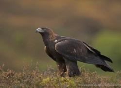 golden-eagle-864-scotland-copyright-photographers-on-safari-com