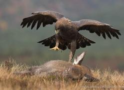 golden-eagle-866-scotland-copyright-photographers-on-safari-com