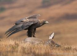 golden-eagle-868-scotland-copyright-photographers-on-safari-com
