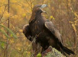 golden-eagle-871-scotland-copyright-photographers-on-safari-com