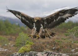 golden-eagle-873-scotland-copyright-photographers-on-safari-com