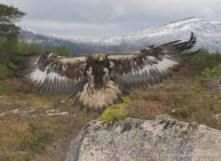 golden-eagle-874-scotland-copyright-photographers-on-safari-com