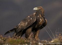 golden-eagle-875-scotland-copyright-photographers-on-safari-com